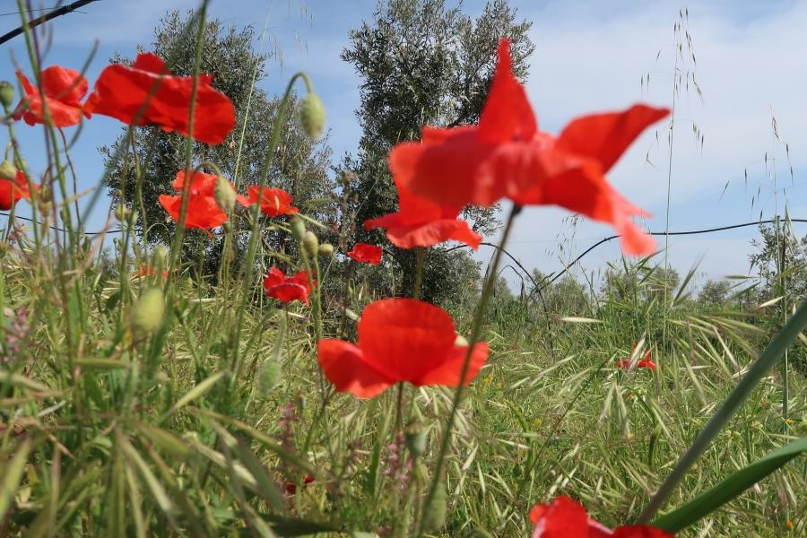 campo papaveri rossi puglia